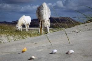 Harris Luskentyre ponies